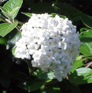 viberum flowers